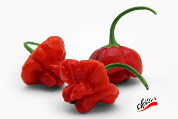 Chilli - Jamaica Red 1