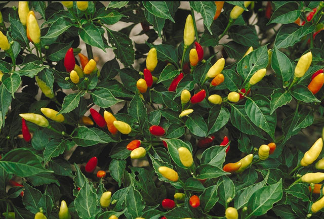 Tabasco Chilli - zdroj: http://upload.wikimedia.org/wikipedia/commons/6/62/Tabasco_peppers.JPG