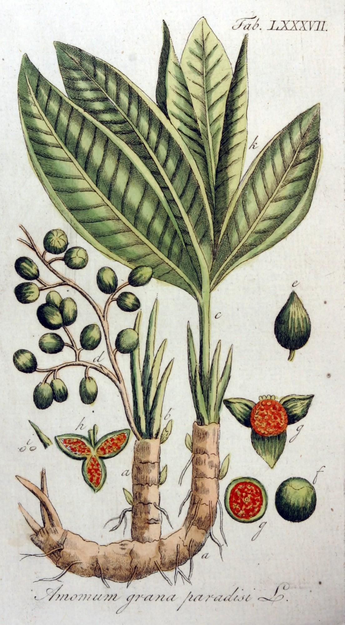 Guinejské korenie_Aframomum melegueta - zdroj: http://upload.wikimedia.org/wikipedia/commons/5/51/Amomum_grana_paradisi_Ypey87.jpg