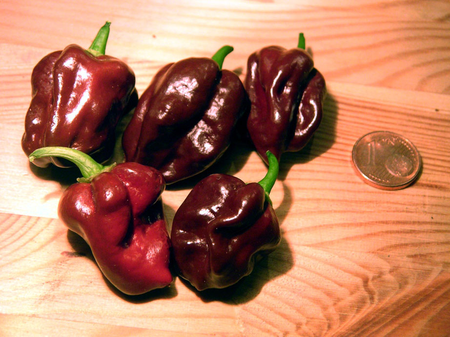 Chocolate Habanero - zdroj: http://upload.wikimedia.org/wikipedia/commons/1/1d/Capsicum_chinense_habanero_chocolate_fruits.jpg