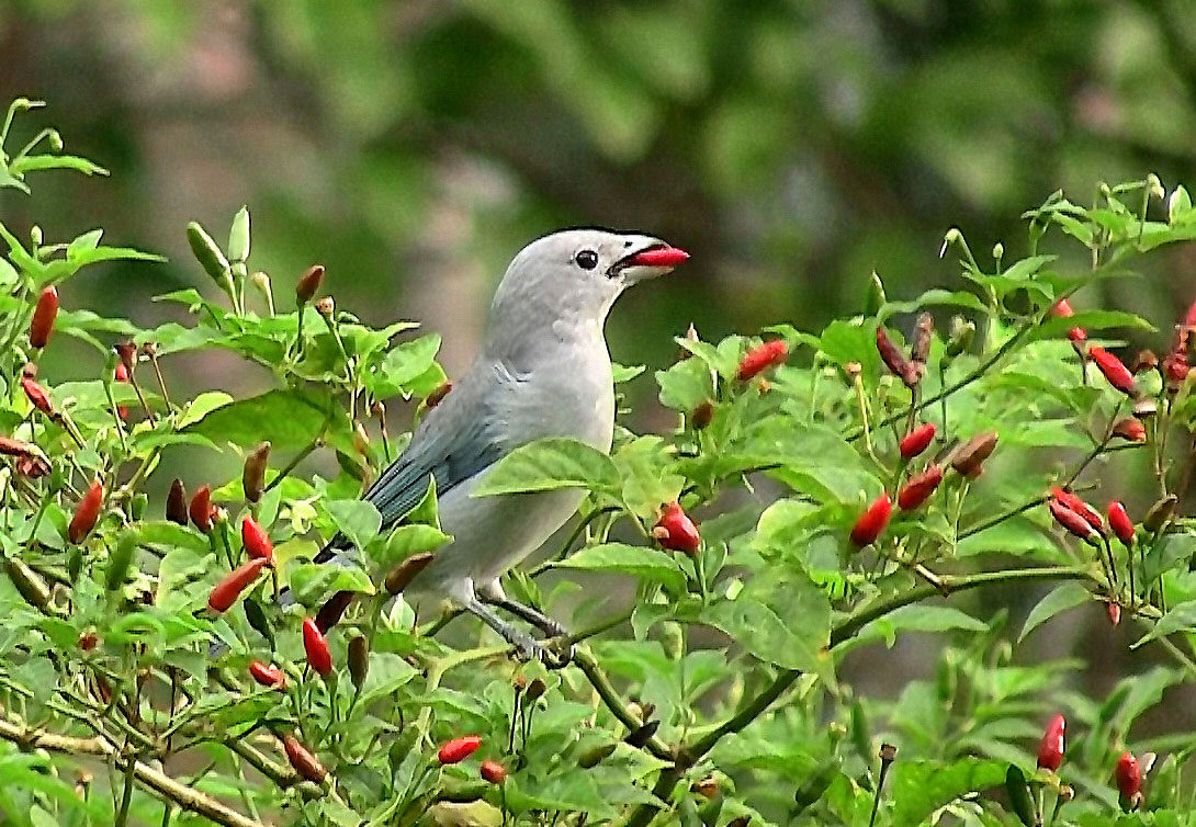 Malagueta Chilli - zdroj: http://upload.wikimedia.org/wikipedia/commons/2/2e/Sayaca_Tanager_feeding_on_malagueta_peppers.jpg