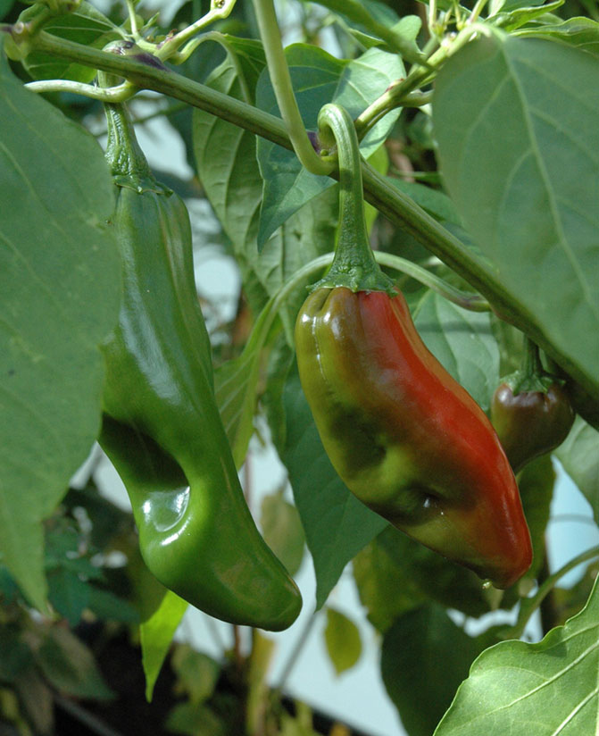 NuMex_Big_Jim - zdroj: http://upload.wikimedia.org/wikipedia/commons/1/12/C_annuum_big_jim_fruits.jpg
