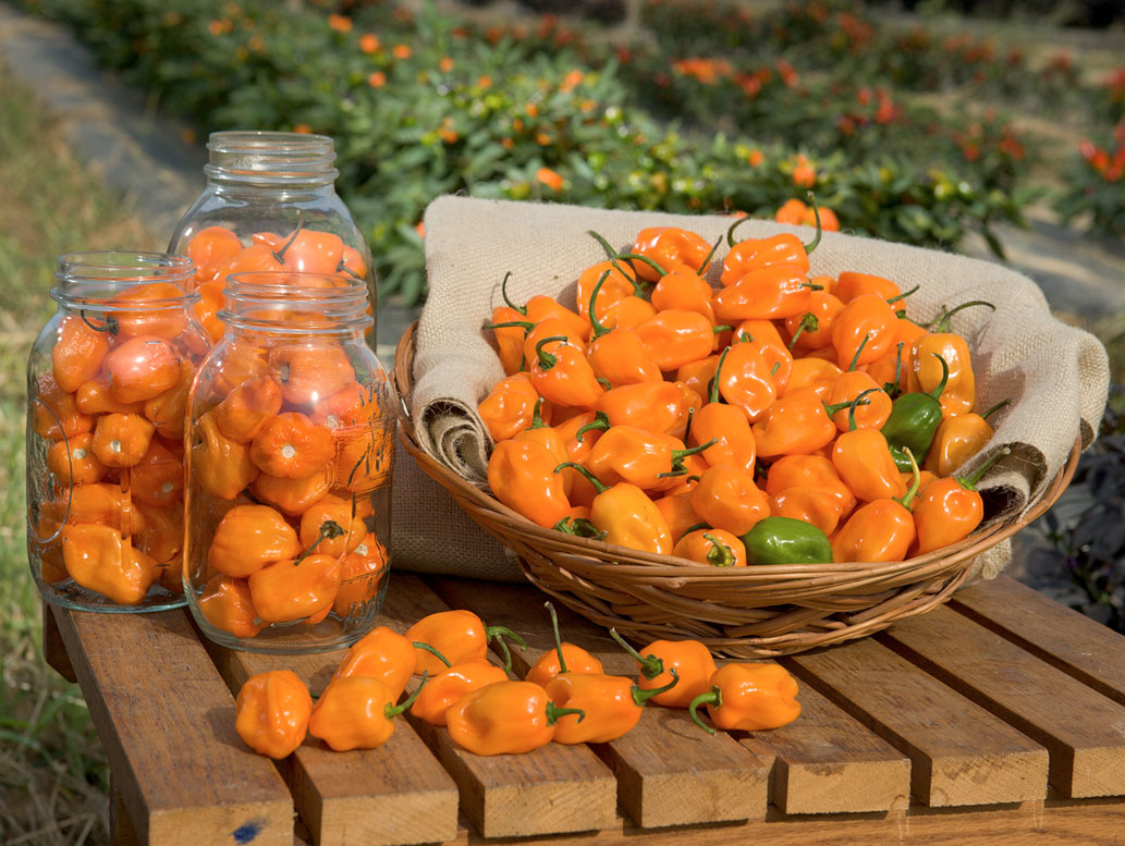 Orange Habanero Chilli - zdroj: http://upload.wikimedia.org/wikipedia/commons/1/1d/ARS-habanero.jpg