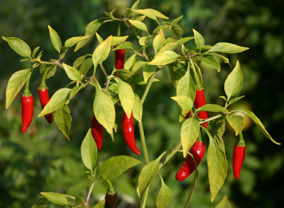 Thai Chilli - zdroj: http://upload.wikimedia.org/wikipedia/commons/3/32/Thai_peppers.jpg